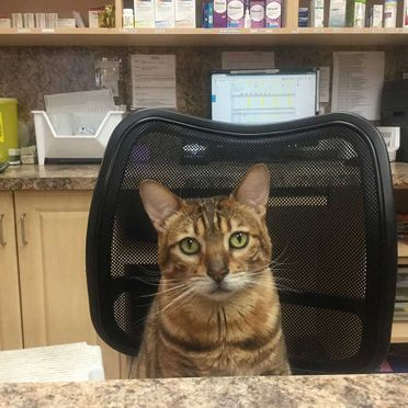 Kyan, our clinic cat, in the Pharmacy